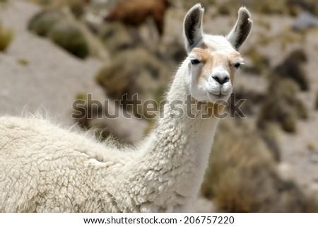 A lama portrait, Peru - stock photo