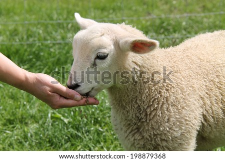 A Lamb Being Fed by Hand. - stock photo