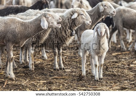 A lamb surrounded by sheep, one bleating