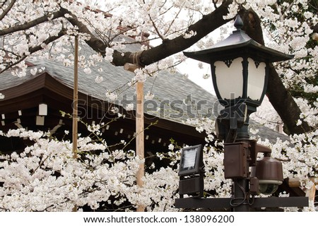 A lamp surrounded by cherry blossoms in Japanese temple