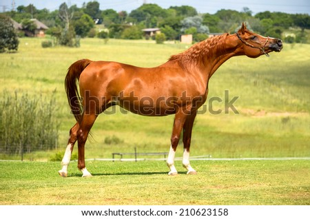 a landscape photo of an arab chestnut stallion standing and stretching its neck - stock photo