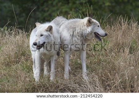 A landscape view of two Grey Wolves