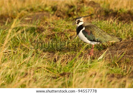 A lapwing in a field - stock photo
