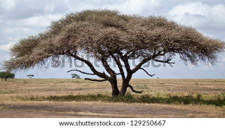 A large acacia tree with a safari vehicle in the background. Serengeti National Park, Tanzania