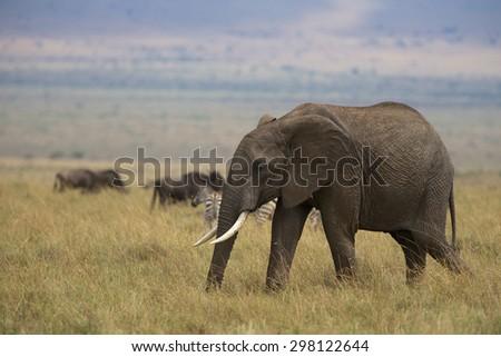 A large African elephant walking - stock photo
