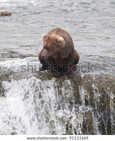 A large Alaskan brown bear fishes for salmon in the rapids of Brooks Falls in Katmai National Park