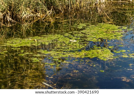 a large amount of debris and dirty waste water caused the rapid growth of algae in the lake. Water pollution. Ecological problem - stock photo