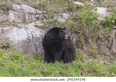 A large and lonely Black Bear