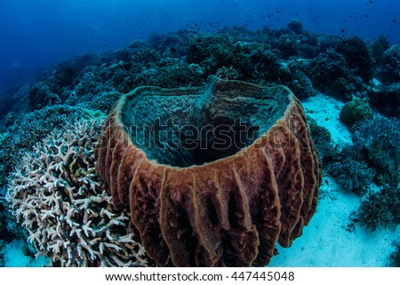 A large barrel sponge (Xenospongia sp.) grows on a tropical reef in Wakatobi National Park, Indonesia. This beautiful area harbors an extraordinary amount of marine biodiversity. - stock photo