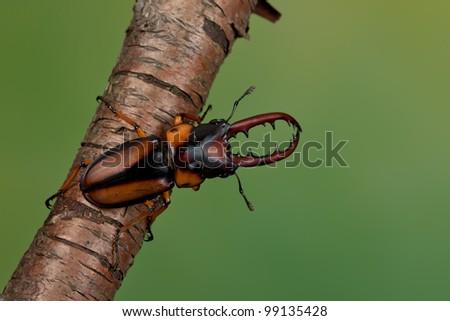 A large Beetle (Lucanus Cervus) hanging on a branch - stock photo