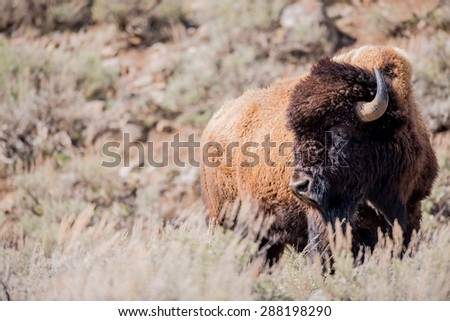 A large bison looking to the left; landscape - stock photo