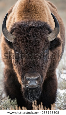 A large bison stares directly at photographer as if to challenge or charge in Yellowstone National Park; full body front shot - stock photo