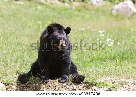 A large black bear in the summer - stock photo