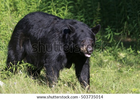 A large black bear sow standing a forest clearing