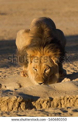 A large black-maned lion drinking from a trough in the Kgalagadi Transfrontier Park - stock photo