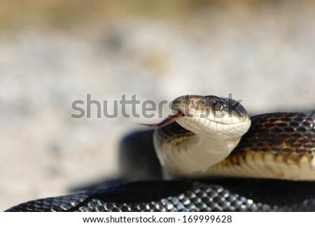 A large black rat snake in defensive posture. - stock photo