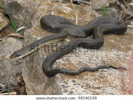 A large black snake crawling over rocks - Black Rat Snake, Pantherophis obsoleta - stock photo