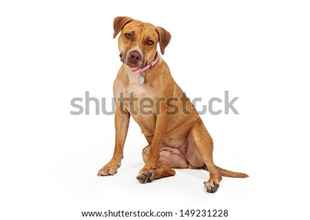 A large breed female yellow dog sitting against a white background and looking at the camera