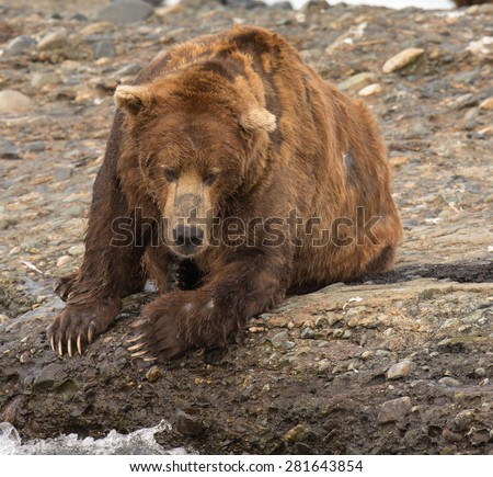A large brown bear lies on the edge of a river watching for salmon