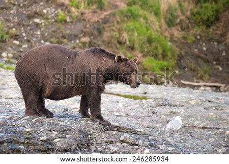 A large brown bear stands at the edge of a river watching for salmon