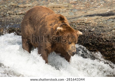A large brown bear stands in a waterfall looking for salmon - stock photo