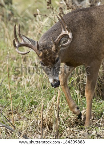 A large Buck with head down and looking at you - stock photo
