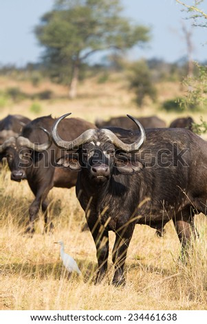 A large buffalo bull in the Kruger National Park, South Africa - stock photo