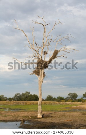 A large buffalo weaver's nest in a dead tree beside a waterhole on a cloudy day - stock photo