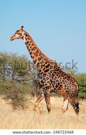 A large bull giraffe (Giraffa camelopardalis) in natural habitat, South Africa  - stock photo
