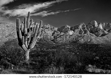 A large cactus catches the setting sun with Arizona's Catalina mountains in the background. - stock photo