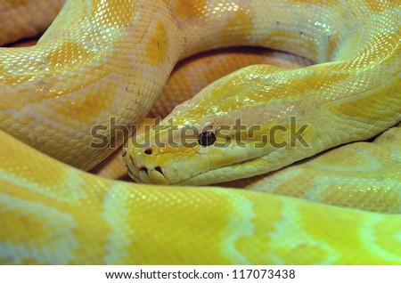 A large coiled albino burmese python. A feral species in places like the everglades which is out competing many other species, and has become a big problem - stock photo