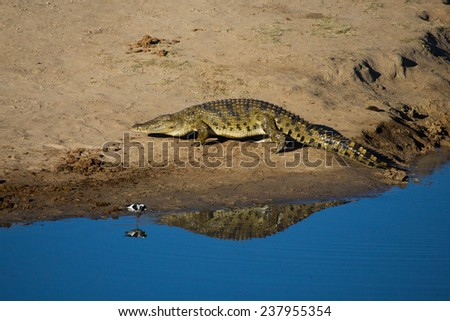 A large crocodile leaving the water - stock photo