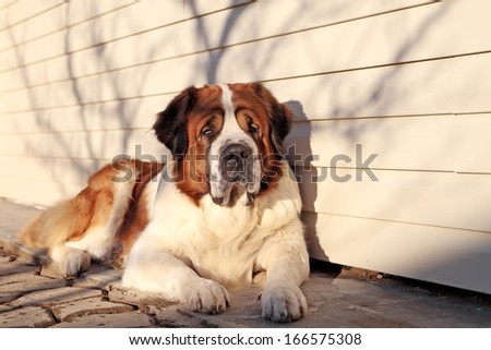A large dog protects its territory - stock photo