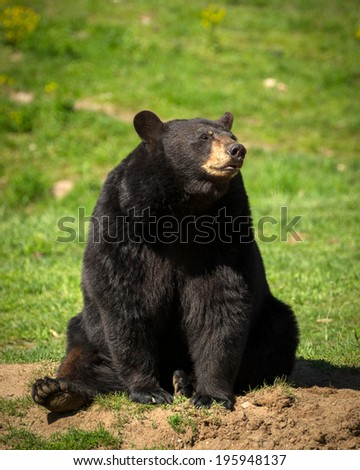 A large Eastern American black bear (Ursus americanus) sits in the bright sun.