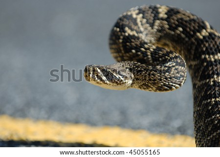 A large eastern diamondback rattlesnake in a strike position on the road. - stock photo