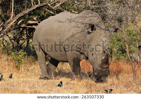 A large, endangered White Rhinoceros grazing in a game reserve. - stock photo