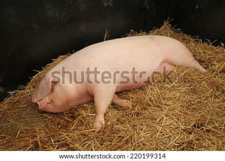 A Large Female Pig Laying on a Bed of Straw. - stock photo