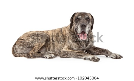 A large five year old brindle Mastiff dog laying against a white backdrop - stock photo