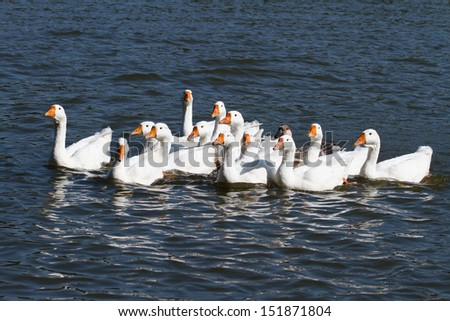 A large flock of white geese swimming on the river - stock photo
