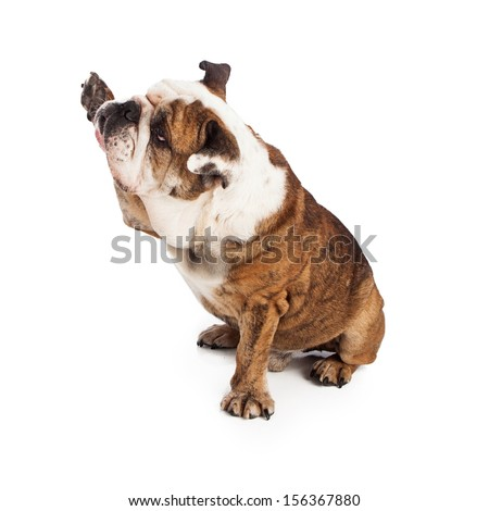 A large friendly Bulldog sitting against a white backdrop raising a paw to shake or high five