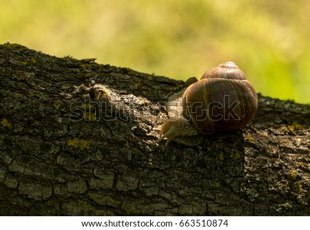 A large grape snail in the early morning