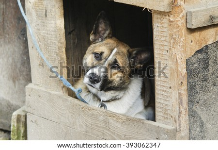 a large gray and white dog sitting in a wooden hut