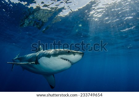 A large great white shark (Carcharodon carcharias) swims near the surface off the coast of Mexico. - stock photo