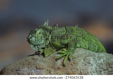 A large green Lizard sitting on a rock - stock photo