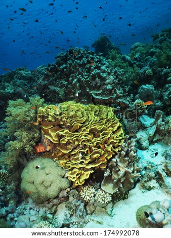 A large green Salad Coral on a tropical reef - stock photo