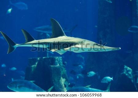 a large grey shark - stock photo