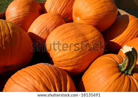 A large group of pretty orange pumpkins - stock photo