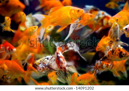 a large group of swimming goldfish in an aquarium - lots of motion and blurring some fish in focus - most are not - stock photo
