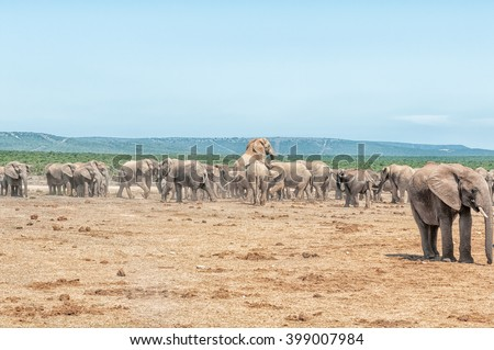 A large herd of elephants with two elephants mating - stock photo