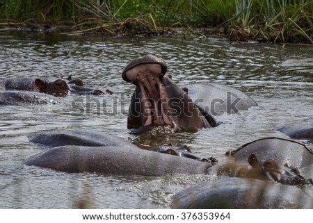 A large hippo roaring in the water. Multiple hippos in the water in Ngorongoro crater of Tanzania - stock photo